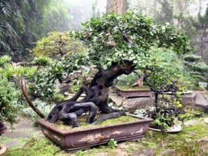 bonsai pflege tipps und tricks f r die pflege der bonsai. Black Bedroom Furniture Sets. Home Design Ideas
